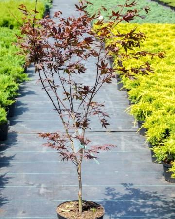 Клён пальмолистный Атропурпуреум