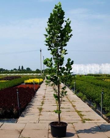 Тюльпановое дерево Лириодендрон