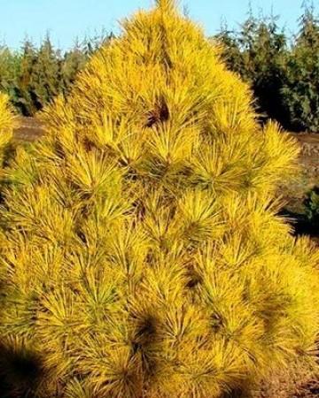 Сосна густоцветковая Ауреа
