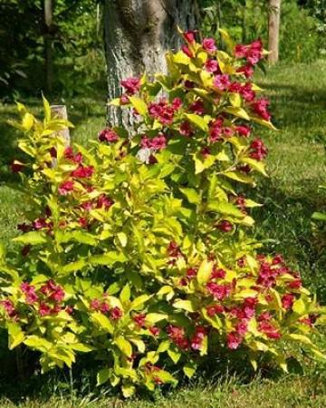Вейгела цветущая Аурея