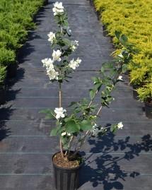 Чубушник венечный (жасмин садовый)