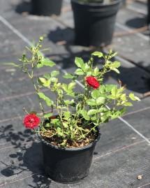 Троянда Мініатюр Ред
