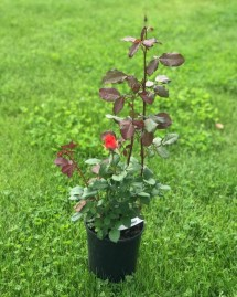 Троянда Анжеліка