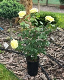 Троянда Морздаг Лимона