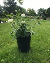 Троянда Морздаг Уайт