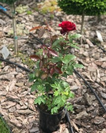Троянда Флорібунда Ніна Вейбул